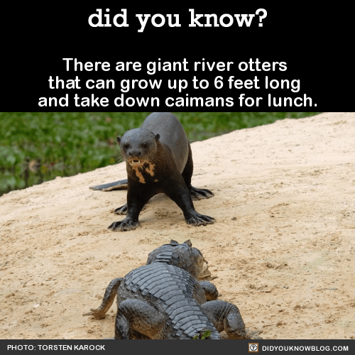 There are giant river otters that can grow up to 6 feet long and take down caimans for lunch. Source Source 2 Source 3 Photo: Wired Photo: reddit/imgur Photo: reddit/imgur Photo: reddit/imgur