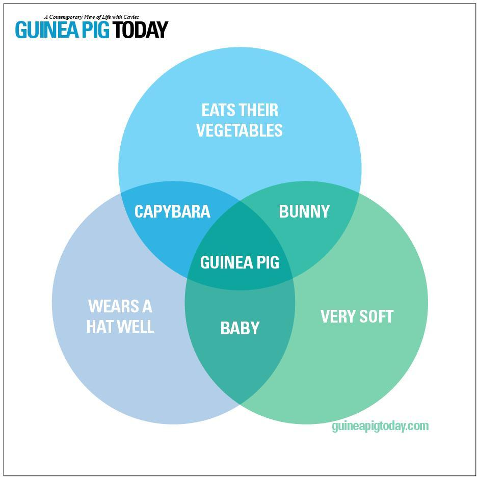 hight resolution of why guinea pigs are the best source http www guineapigtoday