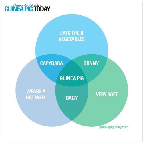 small resolution of why guinea pigs are the best source http www guineapigtoday