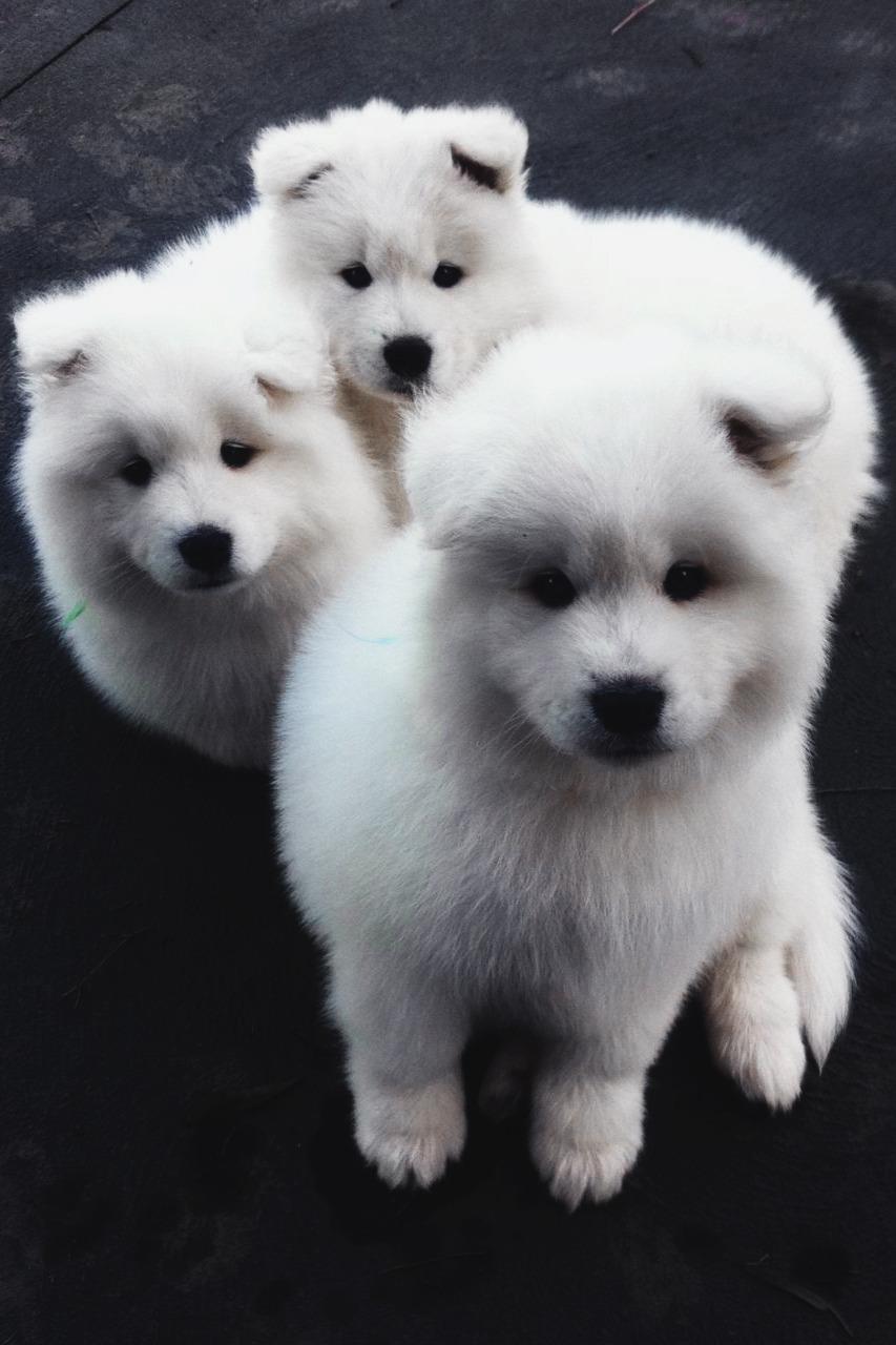 Envy Avenue  Fluffy White Samoyeds
