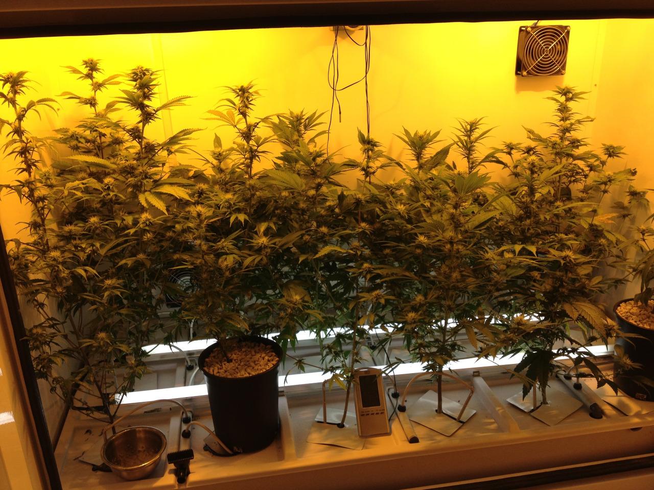 Bc Northern Lights Bloombox Grow