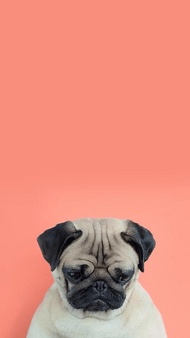 Cute Phan Wallpapers Pug Lockscreen Tumblr