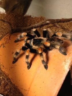 mexican redknee tarantula tumblr