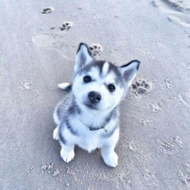 Huskies muy muy muy adorables