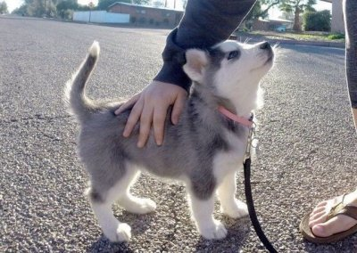 baby husky tumblr