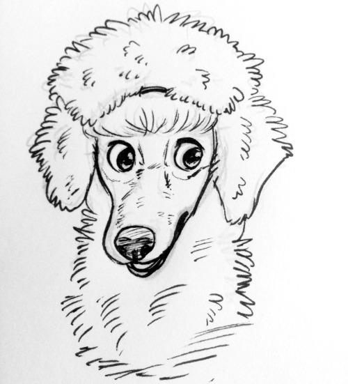 standard poodle on Tumblr