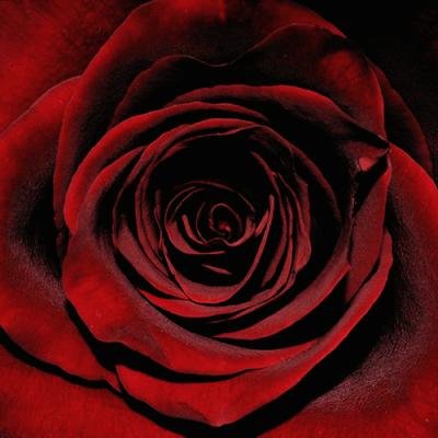 wild red roses tumblr