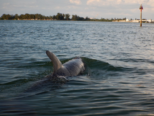 """New Dolphin! A new dolphin has been identified! """"Sharky"""" was named based on the fact that his/her dorsal fin's back edge is so nicked and notched that it really looks like shark teeth."""