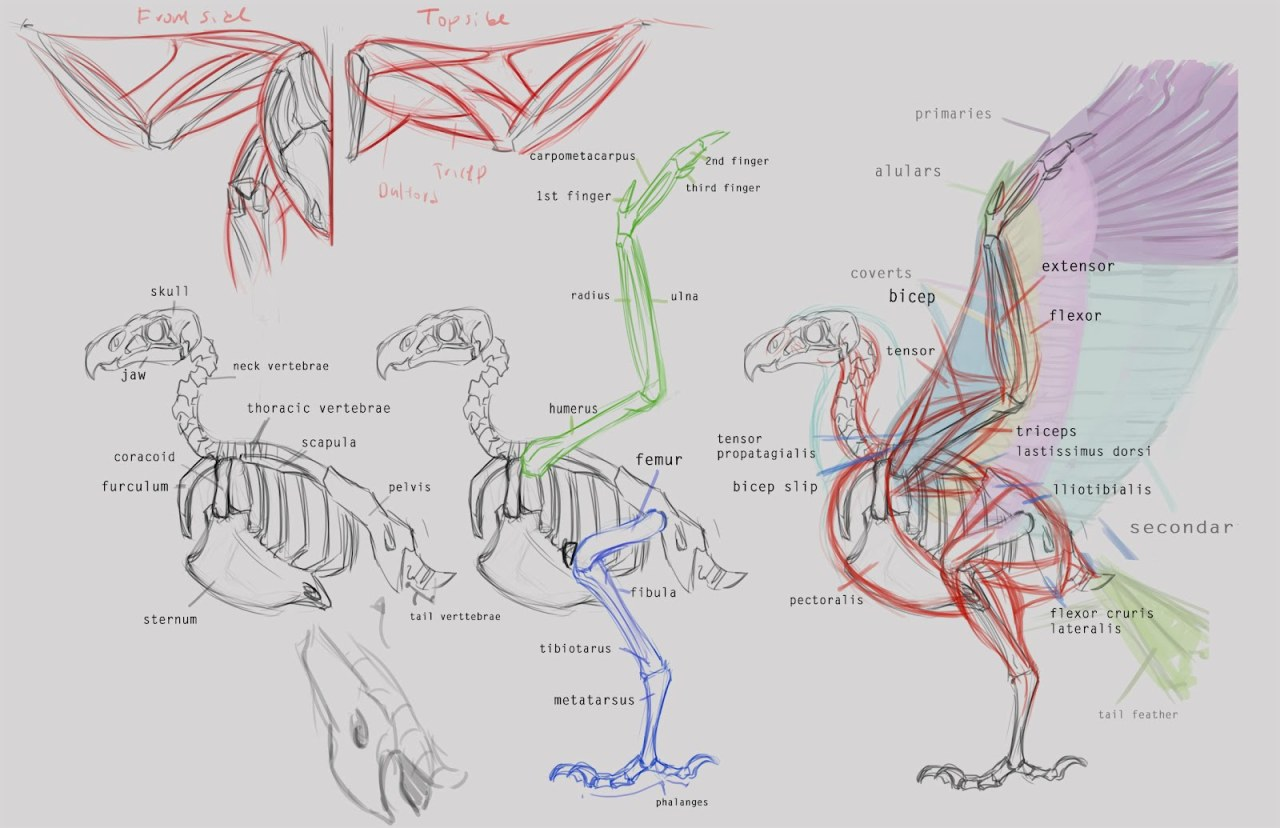 eagle anatomy diagram basement wiring www topsimages com jpg 1280x828