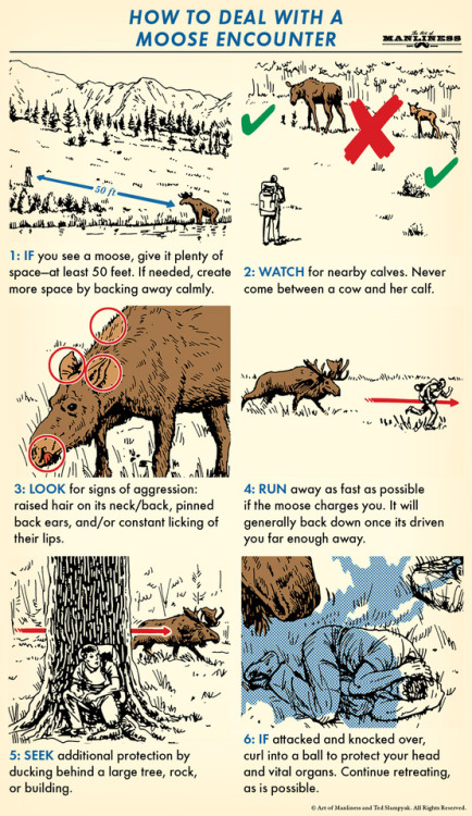 tumblr_pg8fgcpIpU1qz6f9yo1_500 FYI : What to Do When You Encounter a Moose in the Wild  (if it... Random