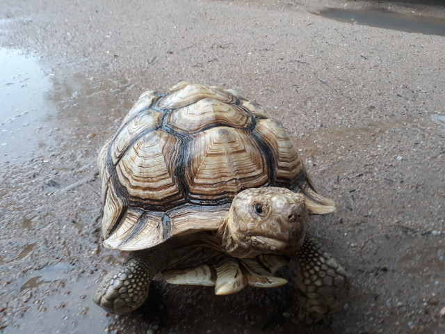 A sulcata tortoise from the front. He is wet and has a small puddle by his right side. The water makes his shell brighter.