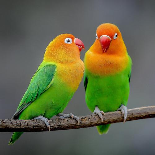 fischer lovebird tumblr