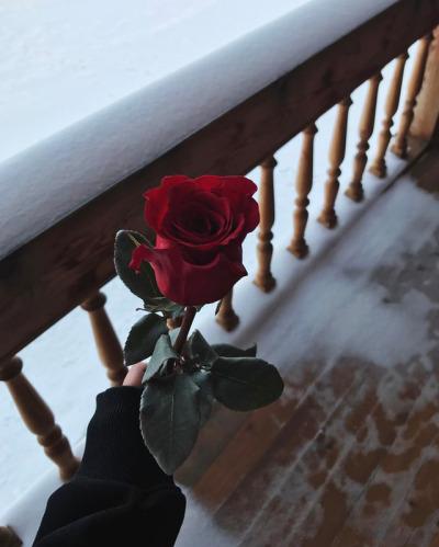 red rose tumblr