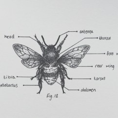 Bumble Bee Diagram Need Wiring The Cryptic Chemist Bumblebee Print Is Beekeeping Buzz