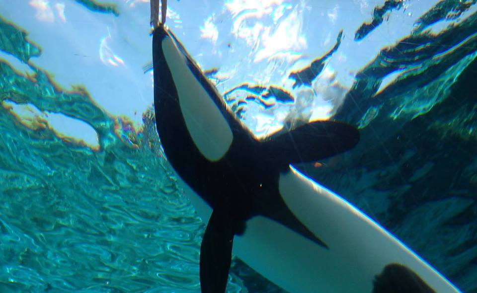 Touching a Commerson's Dolphin #commerson's dolphin #dolphin #cetacean #marine mammal #underwater