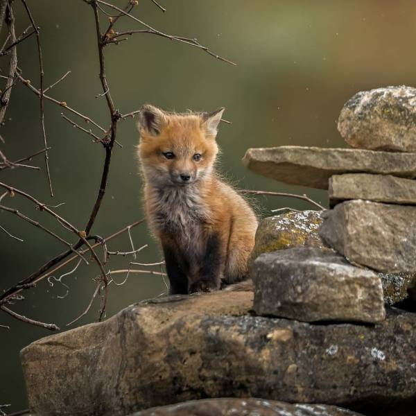 Angie Geographicwild S8nt Red Fox