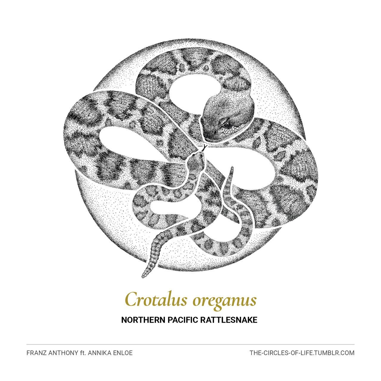 The Circles of Life — Crotalus oreganus Northern Pacific