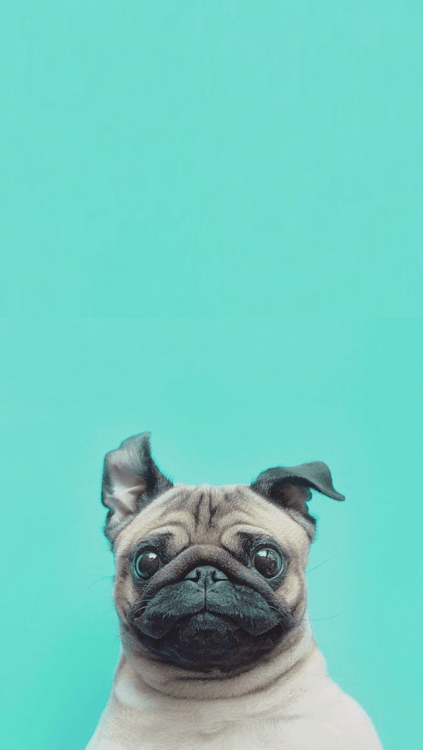 Pug Iphone Wallpaper Pugs Wallpaper Tumblr