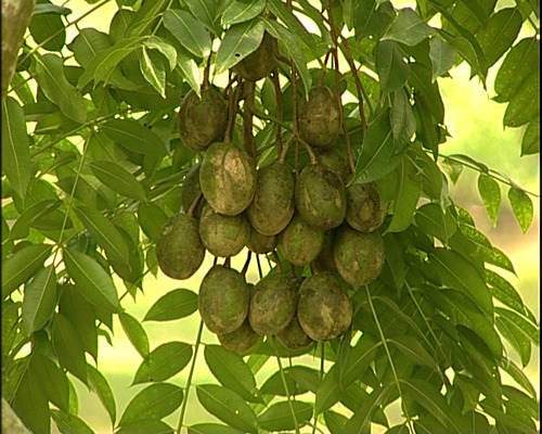 Moneyspinning sour fruit Shykh Seraj
