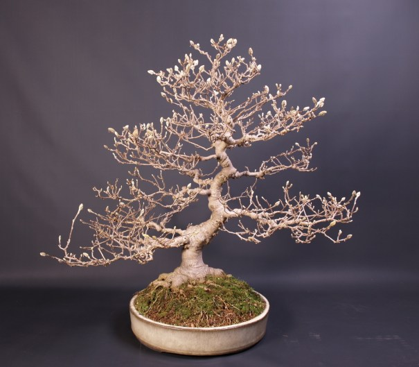 Magnolia Stellata By Teunis Jan Klein Of Deshi Bonsai