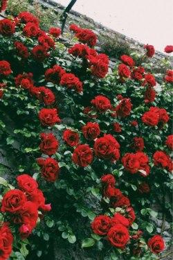 red climbing roses tumblr