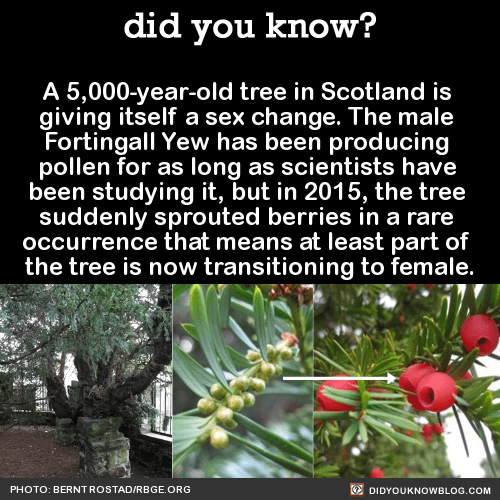 A 5,000-year-old tree in Scotland is giving itself a sex change. The male Fortingall Yew has been producing pollen for as long as scientists have been studying it, but in 2015, the tree suddenly sprouted berries in a rare occurrence that means at...