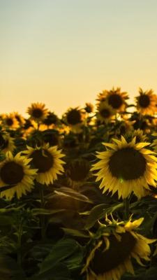 Sunflower Tumblr Background : sunflower, tumblr, background, Aesthetic, Sunflower, Quotes, Tumblr, Largest, Wallpaper, Portal