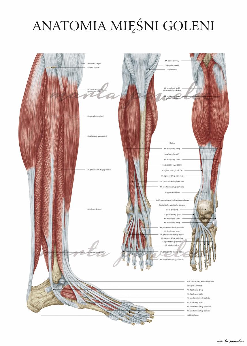 medium resolution of anatomy human anatomy muscles human legs anatomy of human legs legs foot bones poster medical poster medical illustration illustration medicine medical