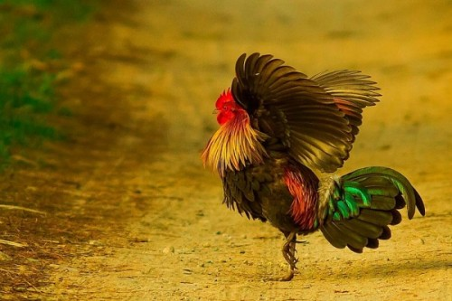 junglefowl Tumblr