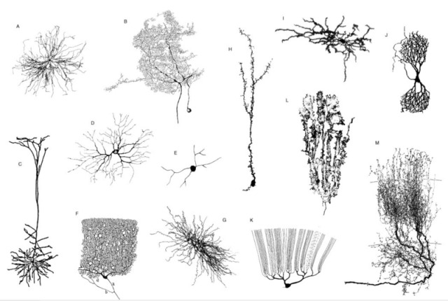 Dendrites Present in most neurons. As shown...