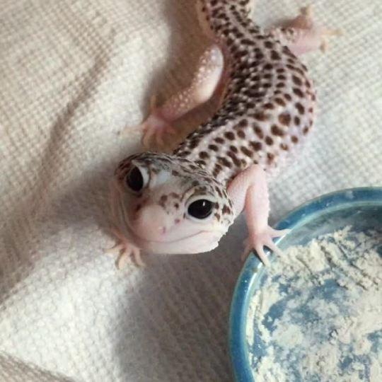 Gecko Galaxy