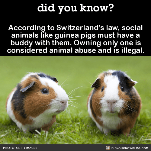 According to Switzerland's law, social animals like guinea pigs must have a buddy with them. Owning only one is considered animal abuse and is illegal. Source