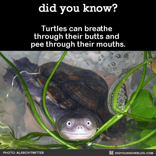 Turtles can breathe through their butts and pee through their mouths. Source Source 2 Happy World Turtle Day!Turtle habitats are rapidly disappearing, and both turtles and tortoises are endangered due to many global threats. World Turtle Day was...
