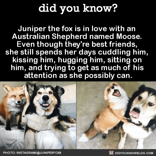 """Juniper the fox is in love with an Australian Shepherd named Moose. Juniper's owner told Bored Panda: """"I brought Juniper home when she was only five weeks old. Moose was raised around all kinds of animals so when she ran up to him tail wagging and..."""
