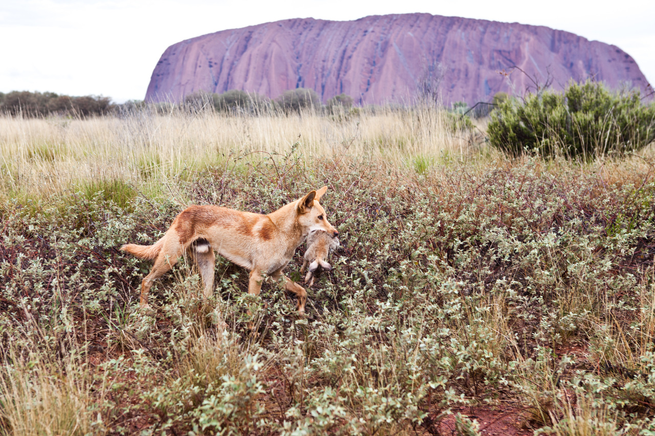 dingo sauvage australie