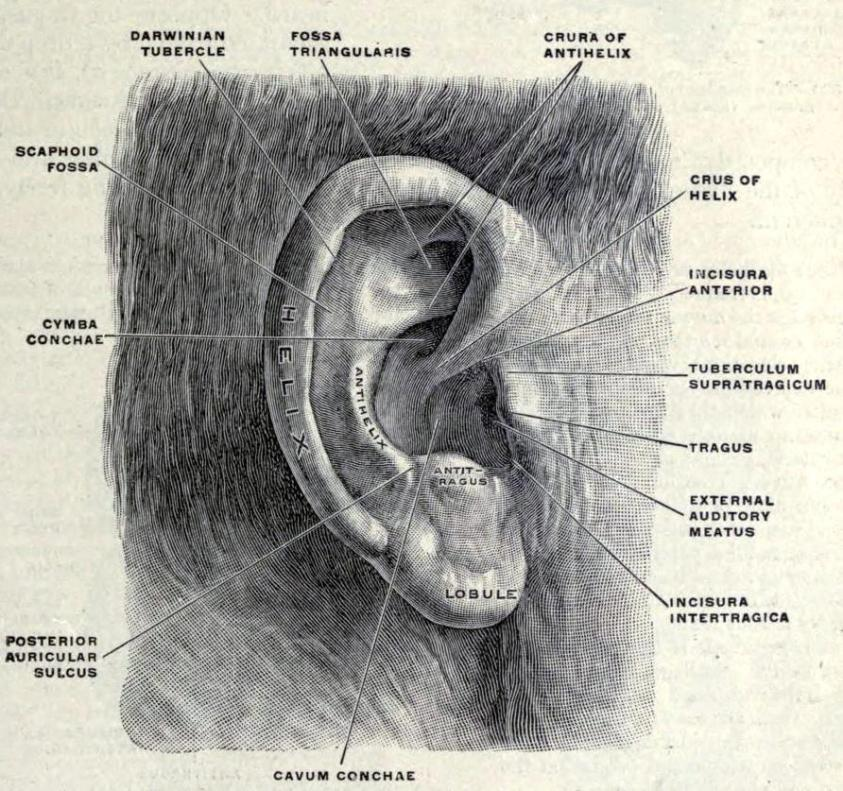 External ears Top: External right pinna - Human ...