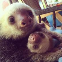 Primatography #slothlove Two Sloths