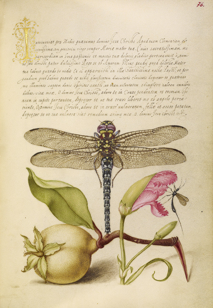 "Joris Hoefnagel, illuminator & Georg Bocskay, scribe Dragonfly, Pear, Carnation, and Insect, 1562/96. Watercolors, gold and silver paint and ink on parchment. Via Getty Open Content. "" Mira calligraphiae monumenta is a virtuoso model book of..."