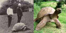 coolthingoftheday:kamenrideraqua:coolthingoftheday:Johnathan the tortoise in 1900, and the same tortoise again in 2015.he looks great, what's his secretDermatologists HATE him