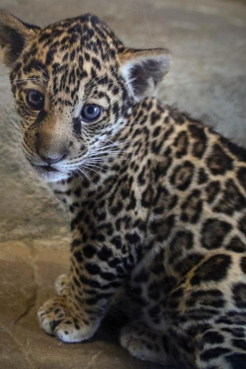Cute Cat Iphone 6 Wallpaper Jaguar Cub Tumblr