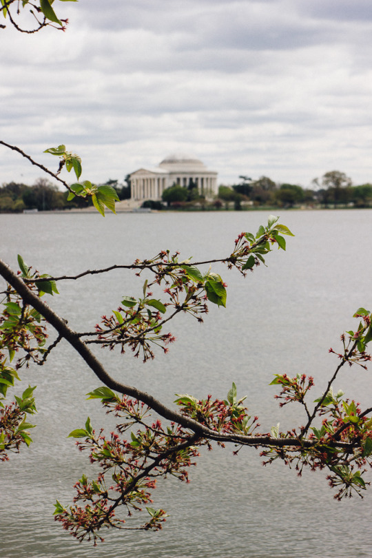 Cherry blossoms Washington DC Travel