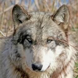 Cute Kawaii Wolf 2
