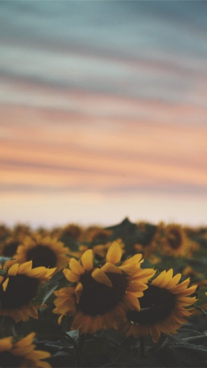 Beautiful Flower Wallpapers With Quotes Sunflower Wallpaper Tumblr
