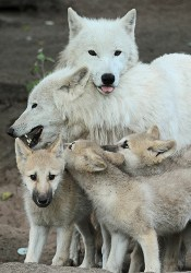 wolf wolves animals hudson bay loup wild lupus derpy arctic animales hug cute pup baby canis dad animal famille portrait
