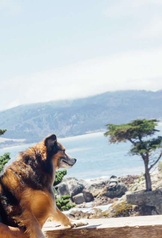 dog friendly road trips, road trips with dogs, dog friendly road trips in California, best road trips with dogs, road trips with dogs in west coast, 17-mile drive pets dogs Carmel California