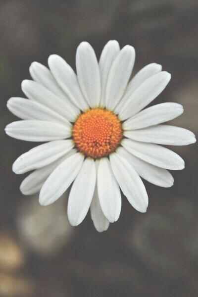 Wallpaper Iphone 5 Vintage Daisy Flowers On Tumblr