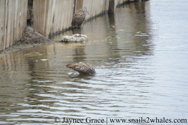 A Limpkin puts its whole head underwater, foraging for food. Photo taken at Lake Region Village on Lake Hamilton
