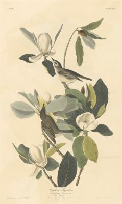 cincylibrary:Warbling Flycatcher, from Audubon's Birds of America.