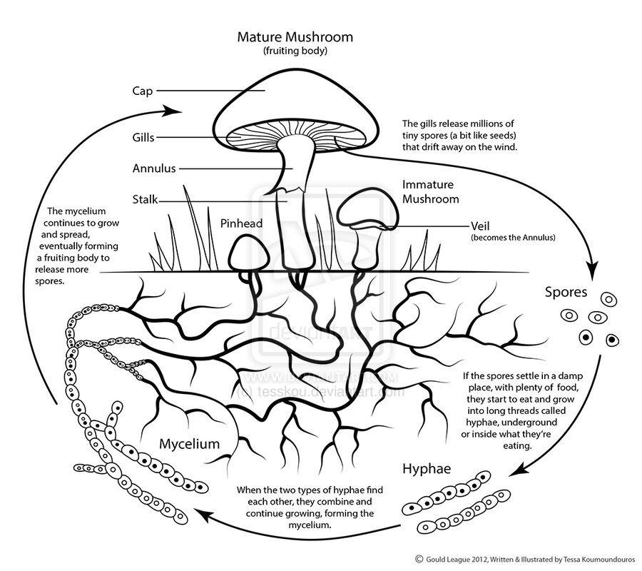Science Visualized • Mushroom Life Cycle by ~tesskou