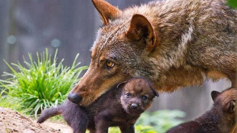"""Questo è il vero significato di """"In bocca al lupo"""""""